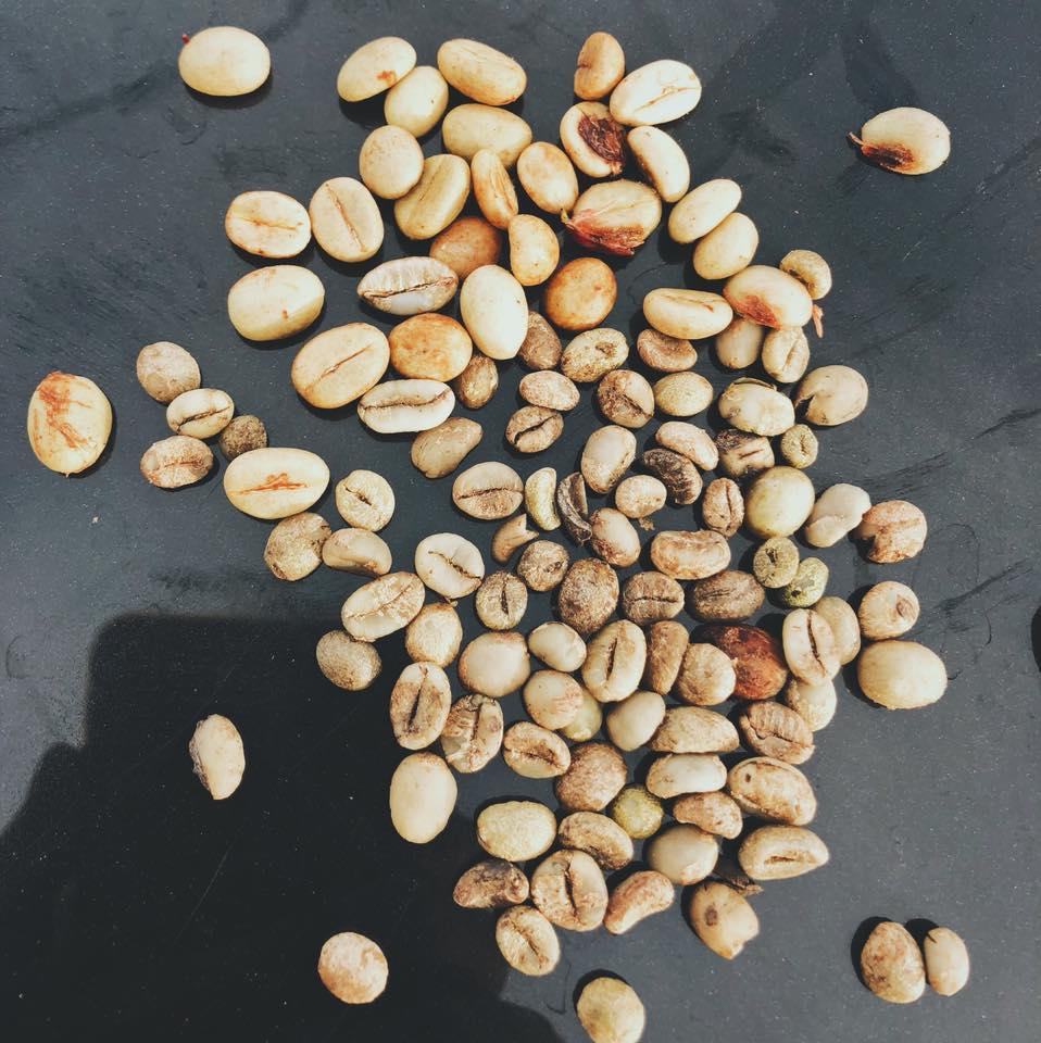Một số giống cà phê hạt nhỏ cho chất lượng sau khi rang cao hơn
