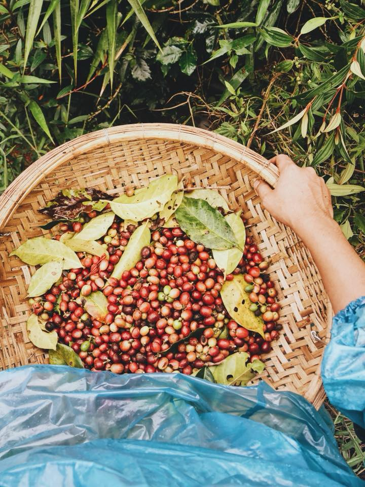 Cà phê hái chọn lọc những trái chín.